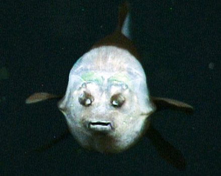 barreleye fish front